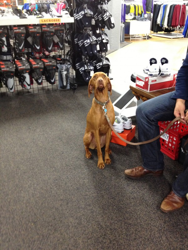 Small Female Vizsla