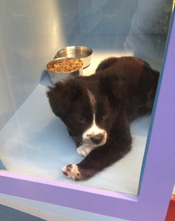 Black and White Border Collie Mix Puppy