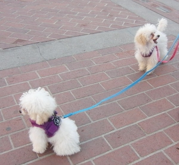 Two White Teacup Poodles