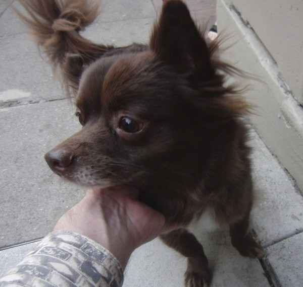 Brown Fluffy Chihuahua Mix