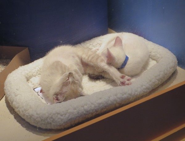 Two Cream Tabby Kittens