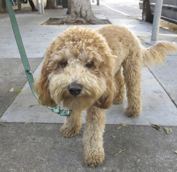 Dog Of The Day Zoe The Tiny Labradoodle The Dogs Of San