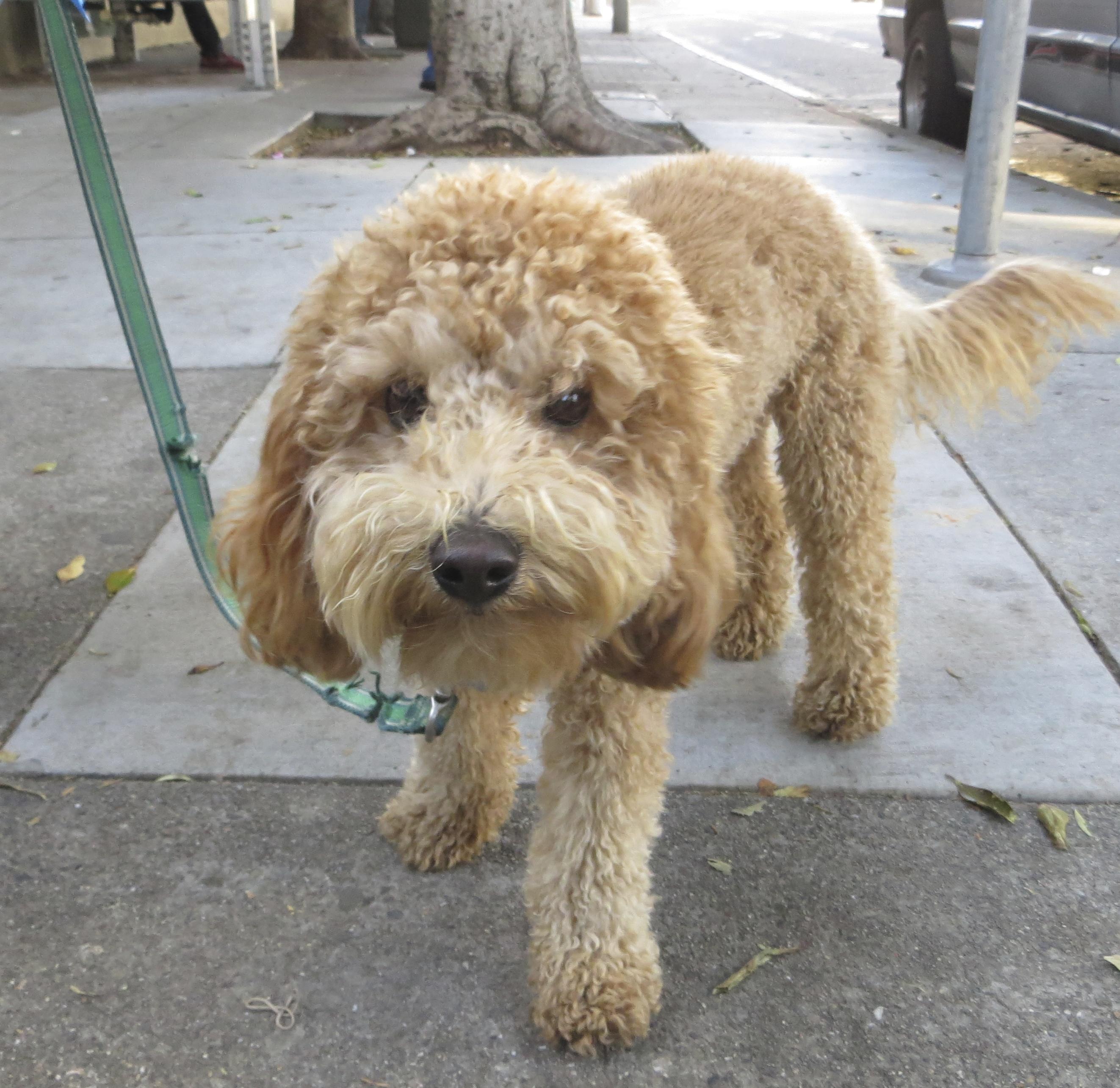 labradoodle labrador retriever and poodle mix - HD2645×2569