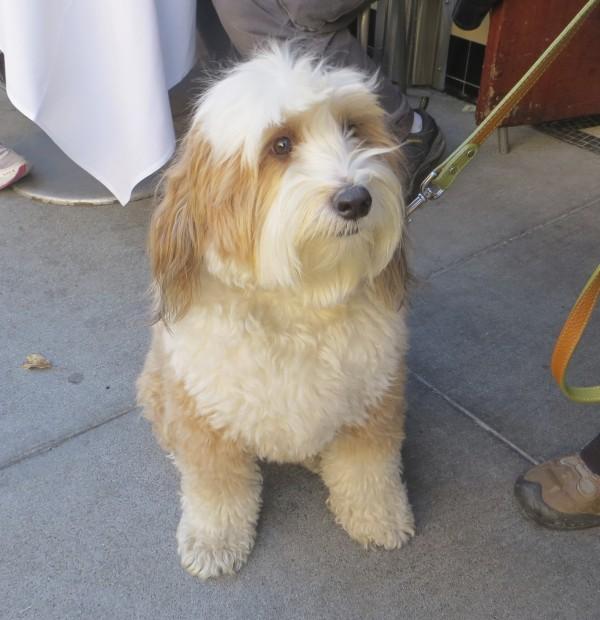 Golden-and-White Tibetan Terrier