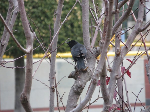 Male Bi-Colored Red-Winged Blackbird (agelaius phoeniceus gubernator)