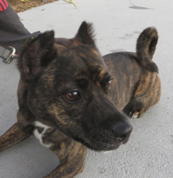 Brindle-and-White Norwegian Fruit Bat Terrier (Or Possibly American Pit Bull Terrier Mix)