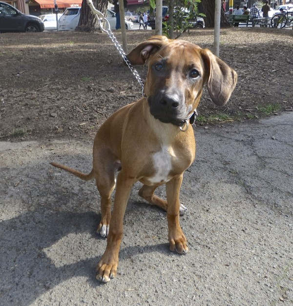 5-Month-Old Rhodesian Ridgeback With a White Spot On Her Chest