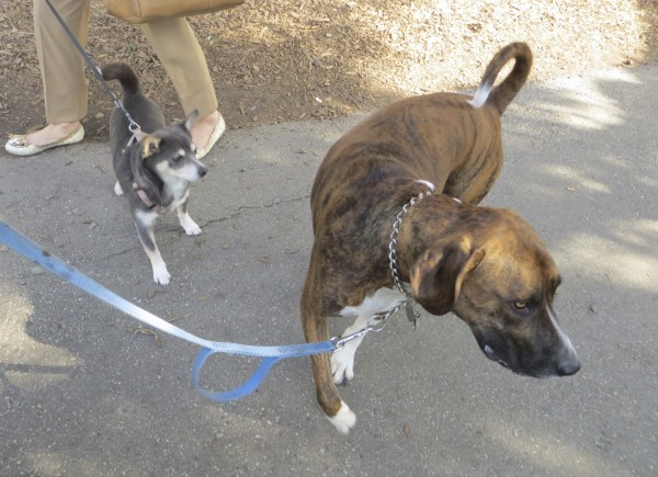 Brindled Plott Hound With White Socks and Blue-And-Tan Chihuahua