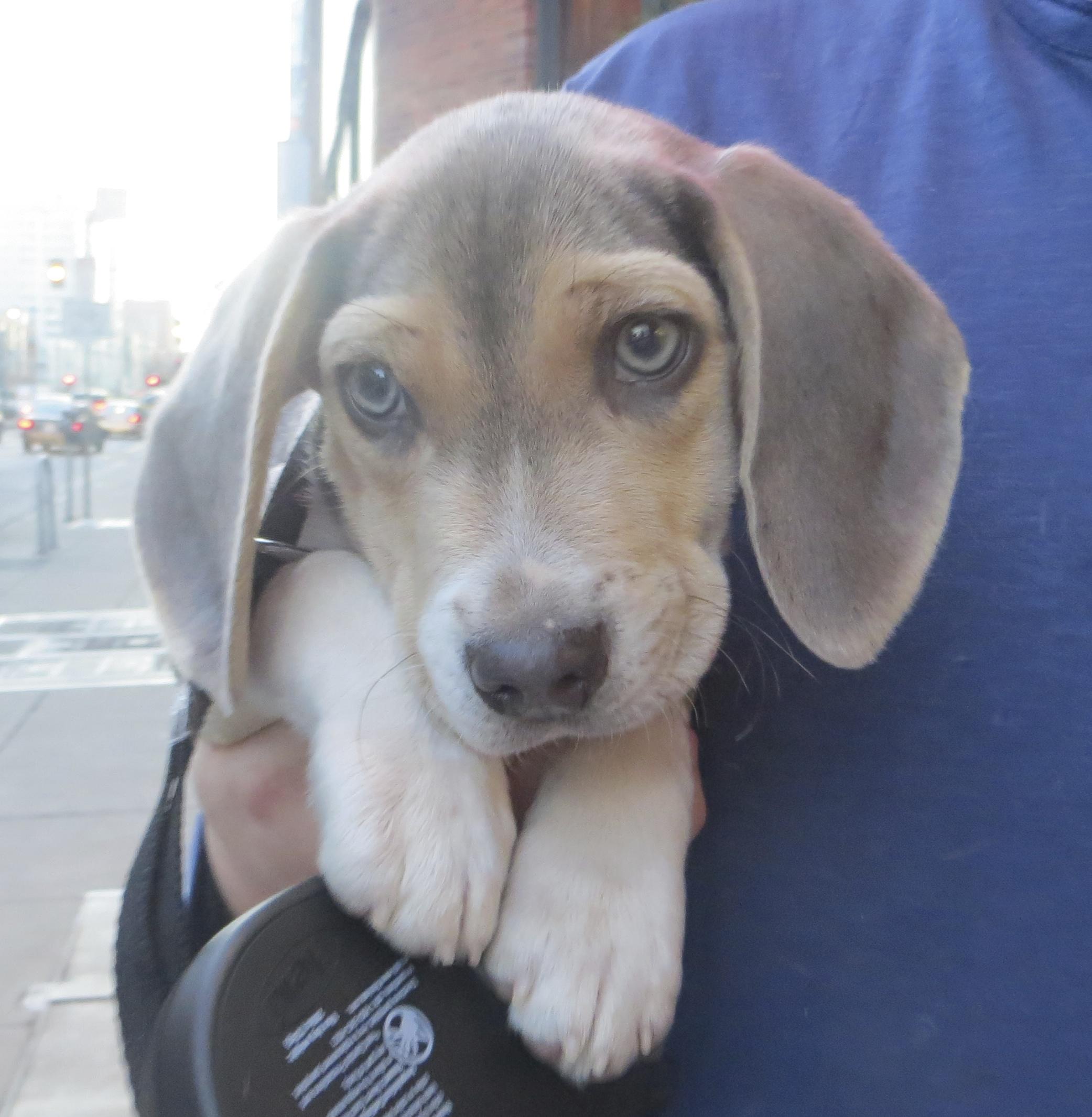 Blue Tricolor Beagle Puppy