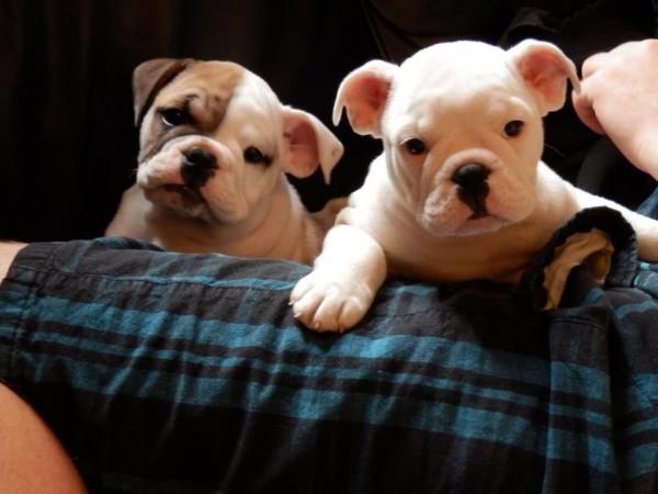 English Bulldog Puppies, one White, one Brown and White