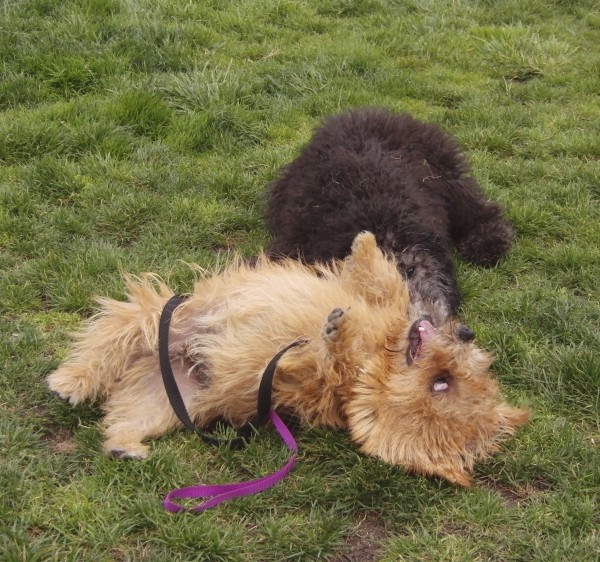 Tan Norwich Terrier Wrestling Black Standard Poodle Mix