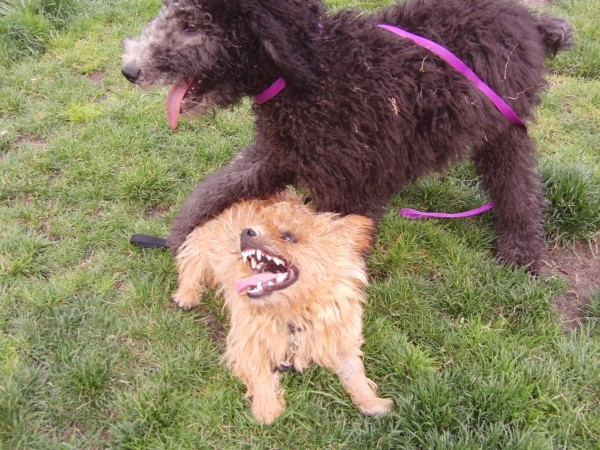 Tan Norwich Terrier With Black Standard Poodle Mix