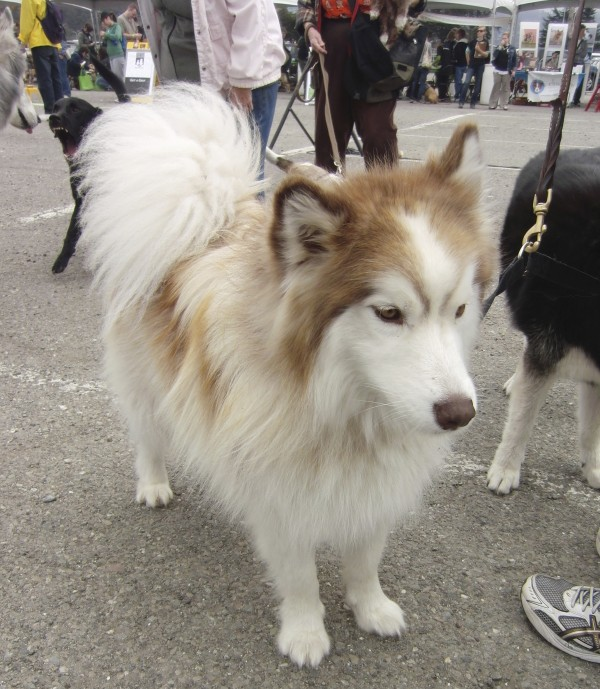 Red-and-White Alaskan Malamute, Possible Mix