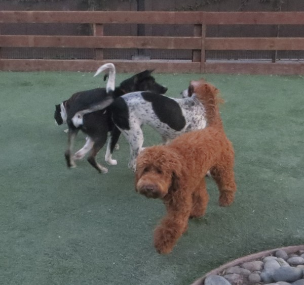Red Poodle Mix with Australian Cattle Dog Mix And Other Dogs