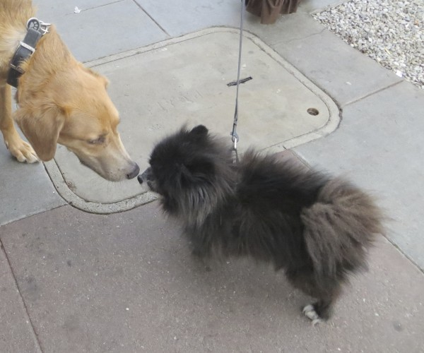 Tricolor German Shepherd/Greyhound Mix with Classic Saddle Markings Meets a Fluffy Black Pomeranian
