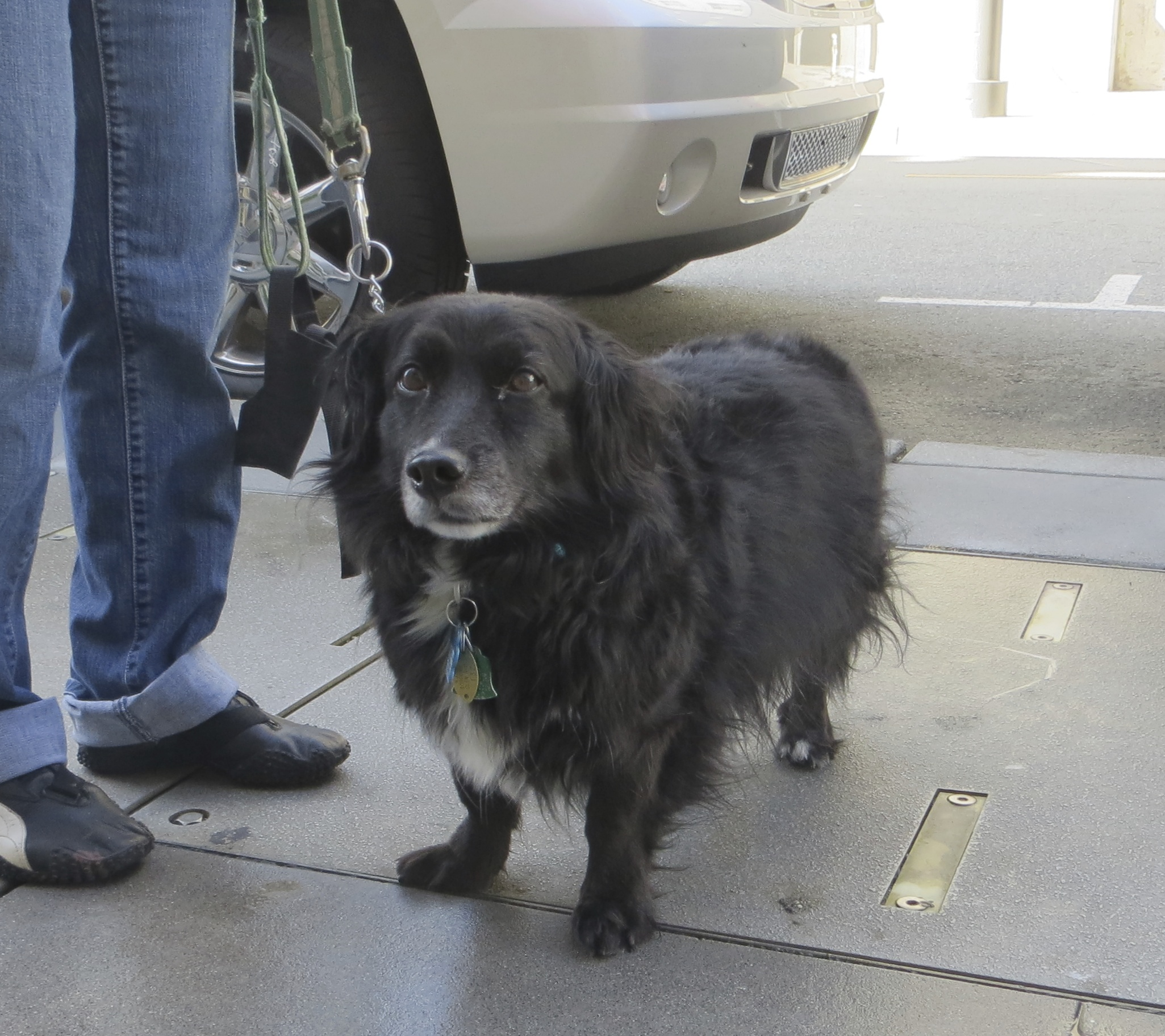 Black Border Collie Mix with Short Legs and a White Chest