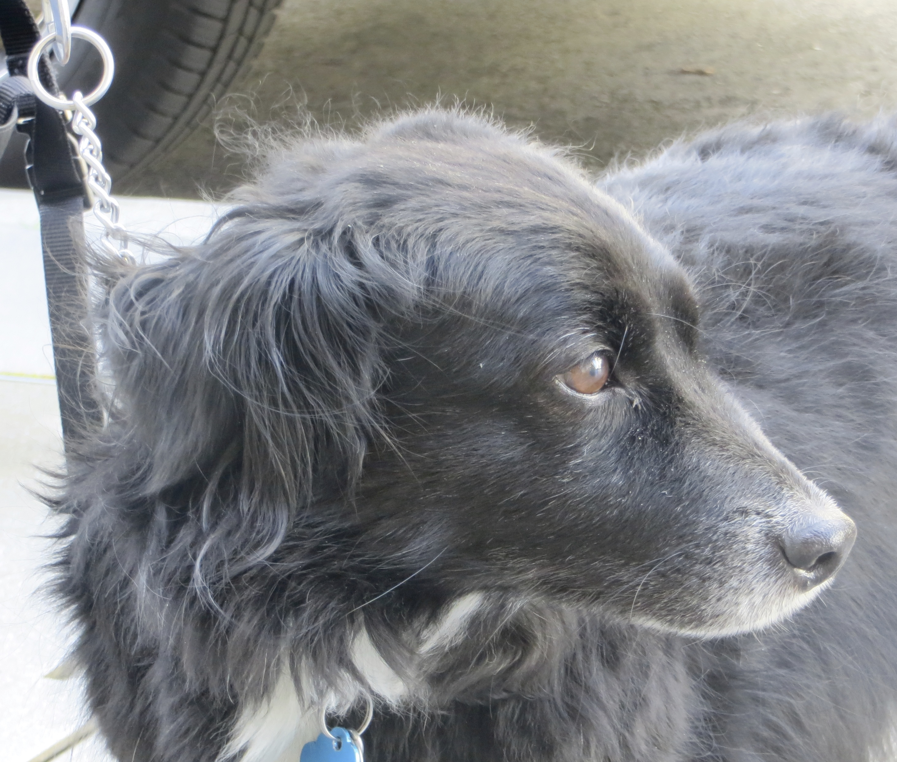 Black Border Collie Mix with Short Legs, a White Chest, and Brown Eyes