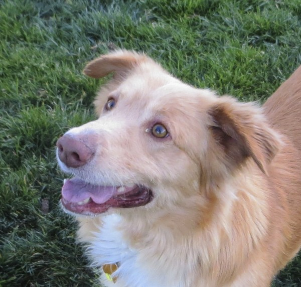 Gold and White Golden Retriever/Pembroke Welsh Corgi Mix with Half-Up Ears