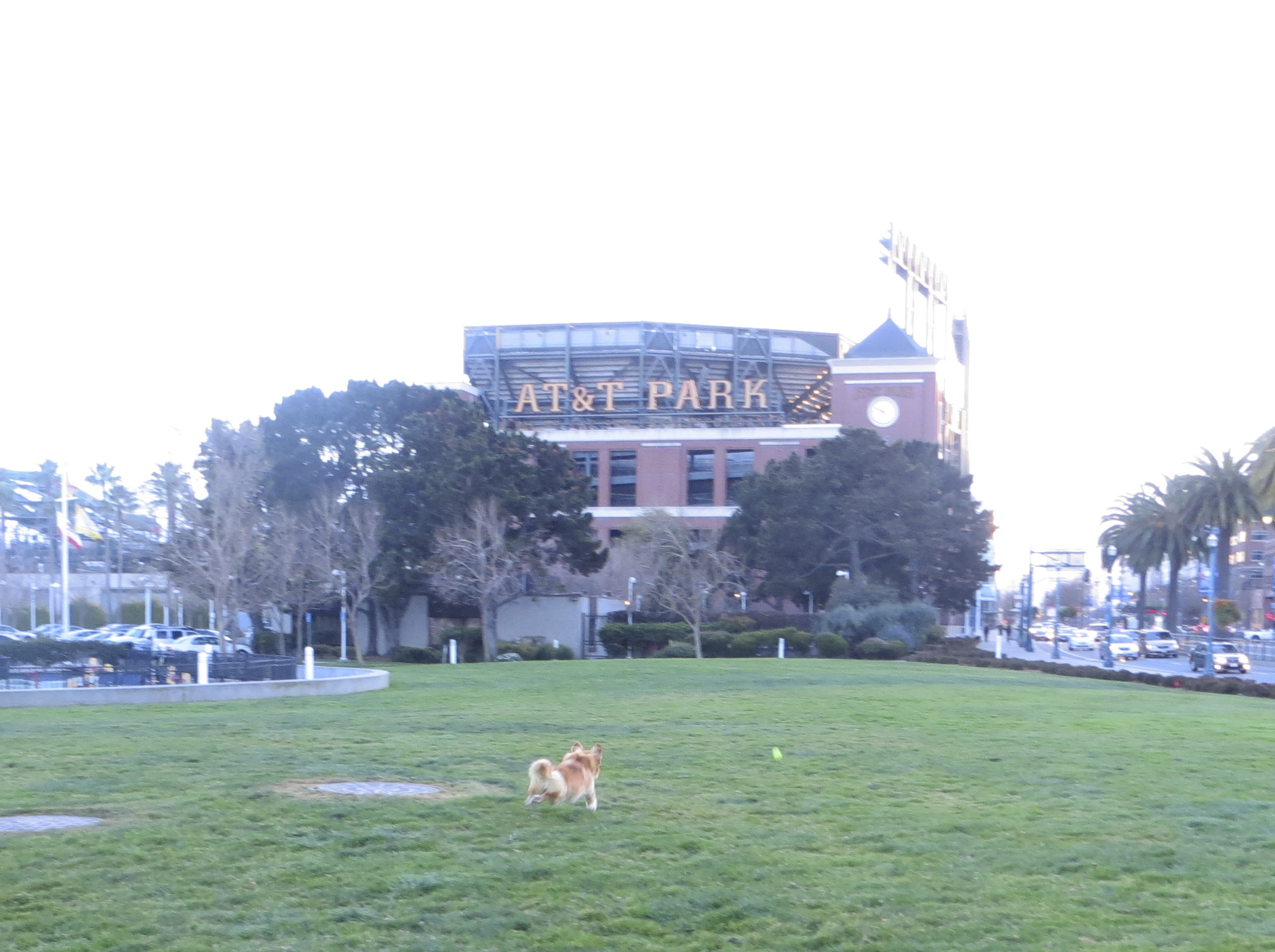 Golden Retriever/Corgi Mix Fetching a Ball in Front of AT&T Park/Giants' Stadium