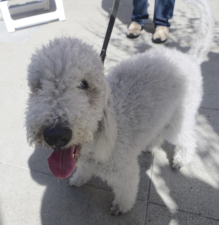 Light Silver Bedlington Terrier