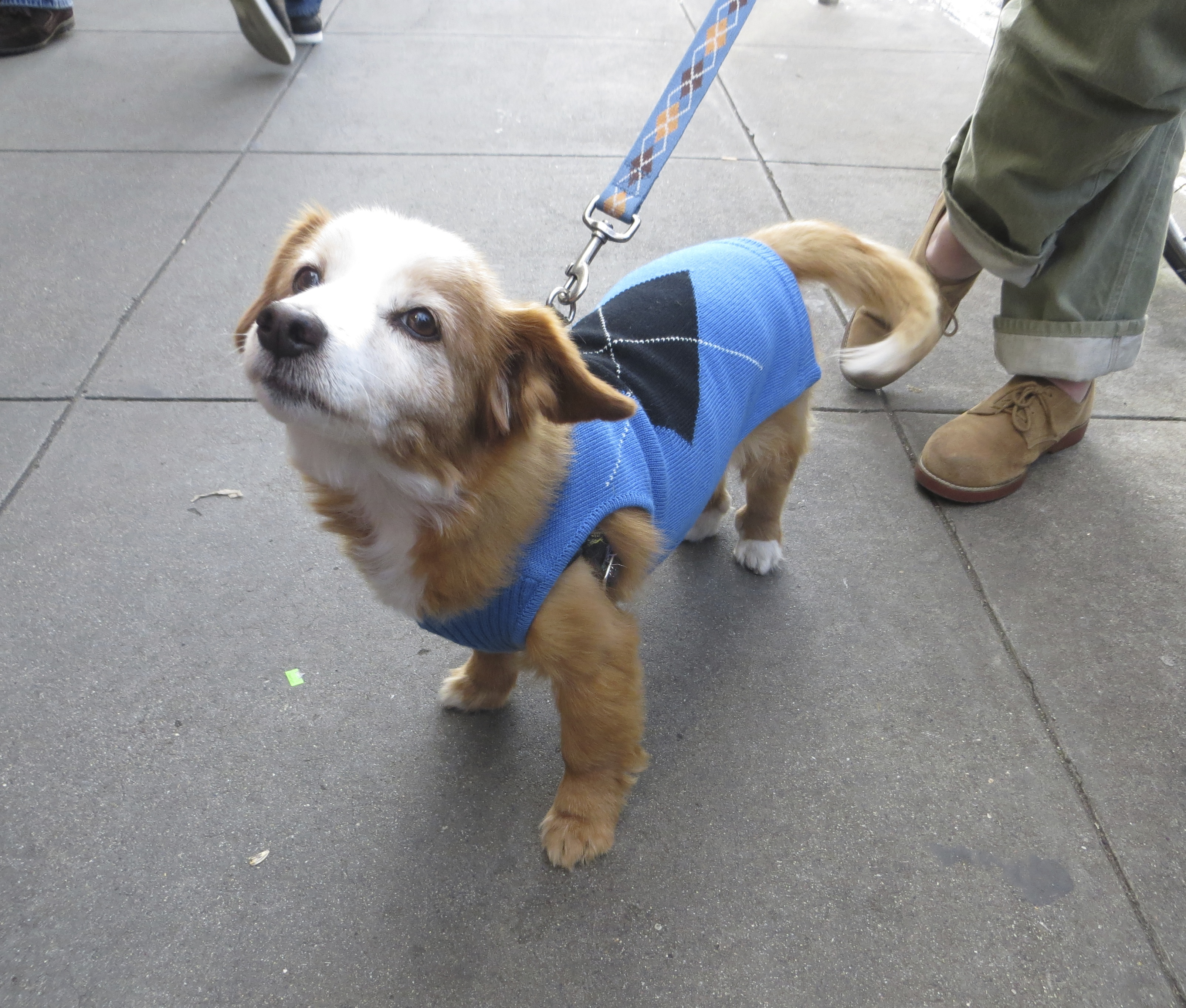 Small Unknown Mixed Breed Dog in a Blue Sweater