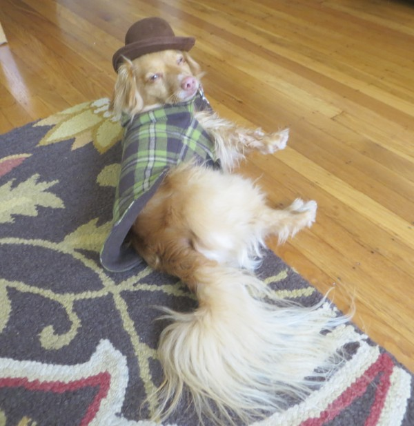 Long-Haired Chihuahua/Long-Haired Dachshund Mix in Jacket, Bow-Tie, and Bowler Hat