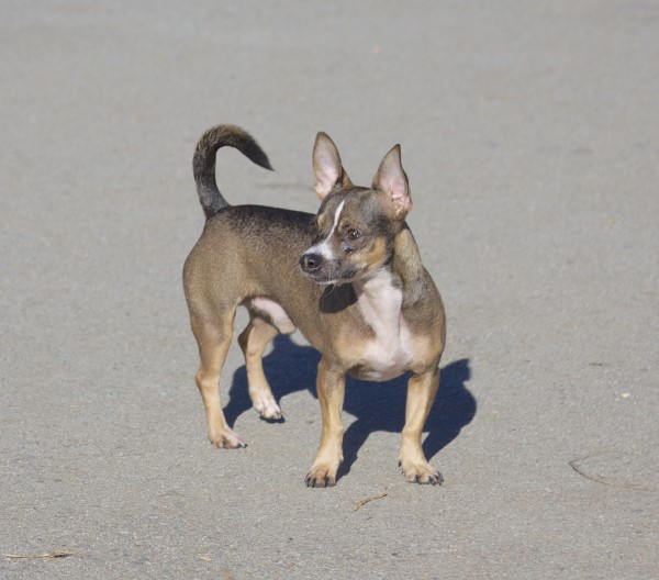 Small Tricolor Dog