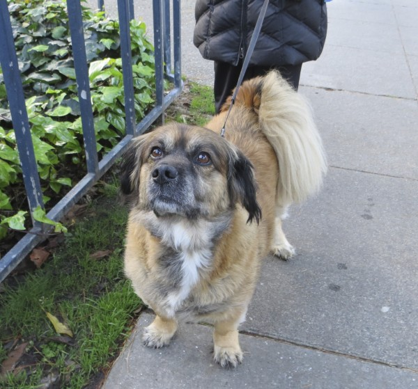 Dog of the Day: Louie the Lhasa Apso/German Shepherd/Dachshund Mix