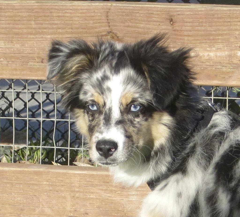 Blue Merle Miniature Australian Shepherd Puppy With Gorgeous Blue Eyes