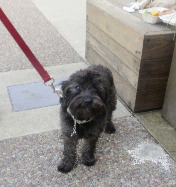 Black Jack Russell Terrier/Poodle Mix