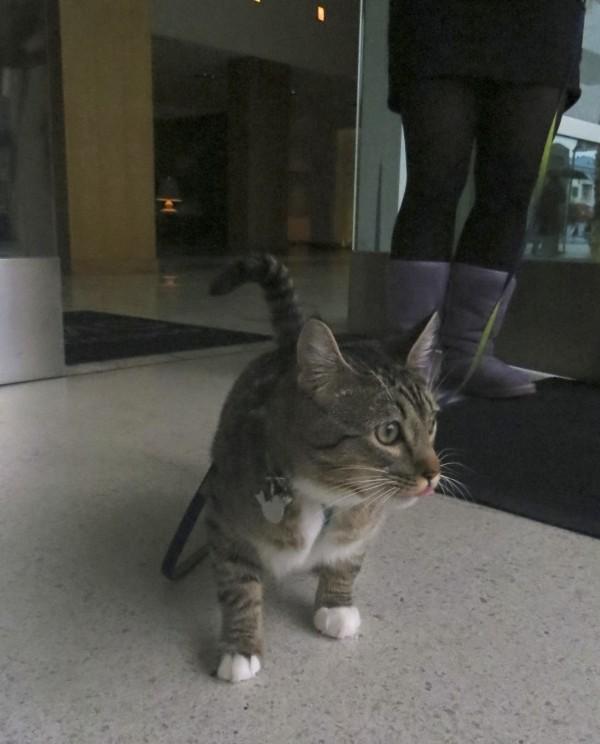 Silver Mackerel Tabby Kitten With White Paws