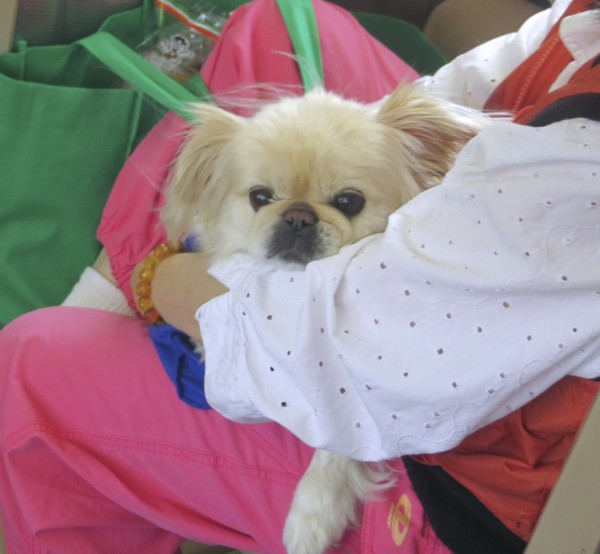 Tan Pekingese in Someone's Lap
