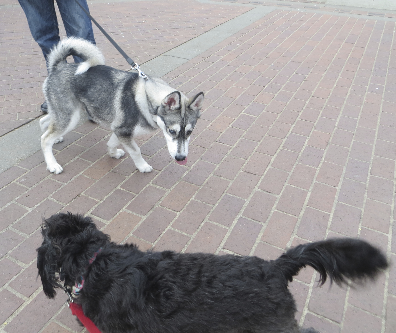 Jack Russell Terrier Husky Mix