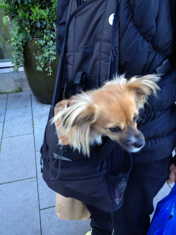 Tan Chihuahua/Dachshund/Pomeranian Mix With Fluffy Down Ears and a Black Muzzle