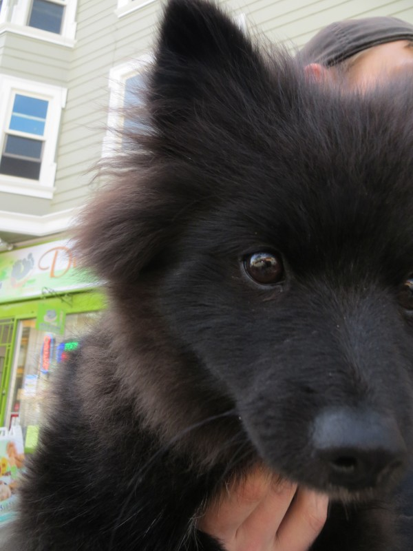 Black Fluffy Pomeranian with White Paws