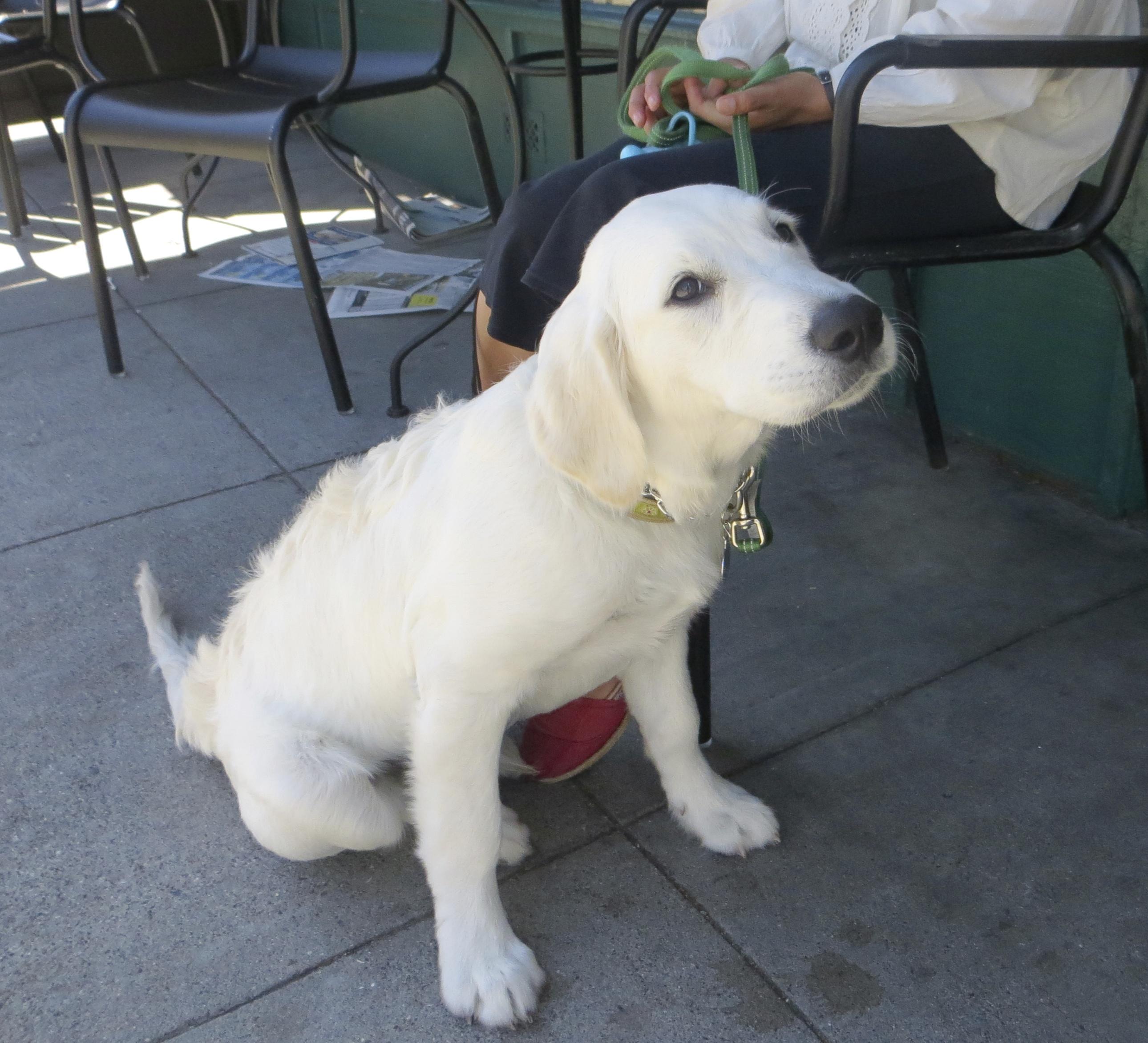 Very Light (Almost White) Golden Retriever Puppy