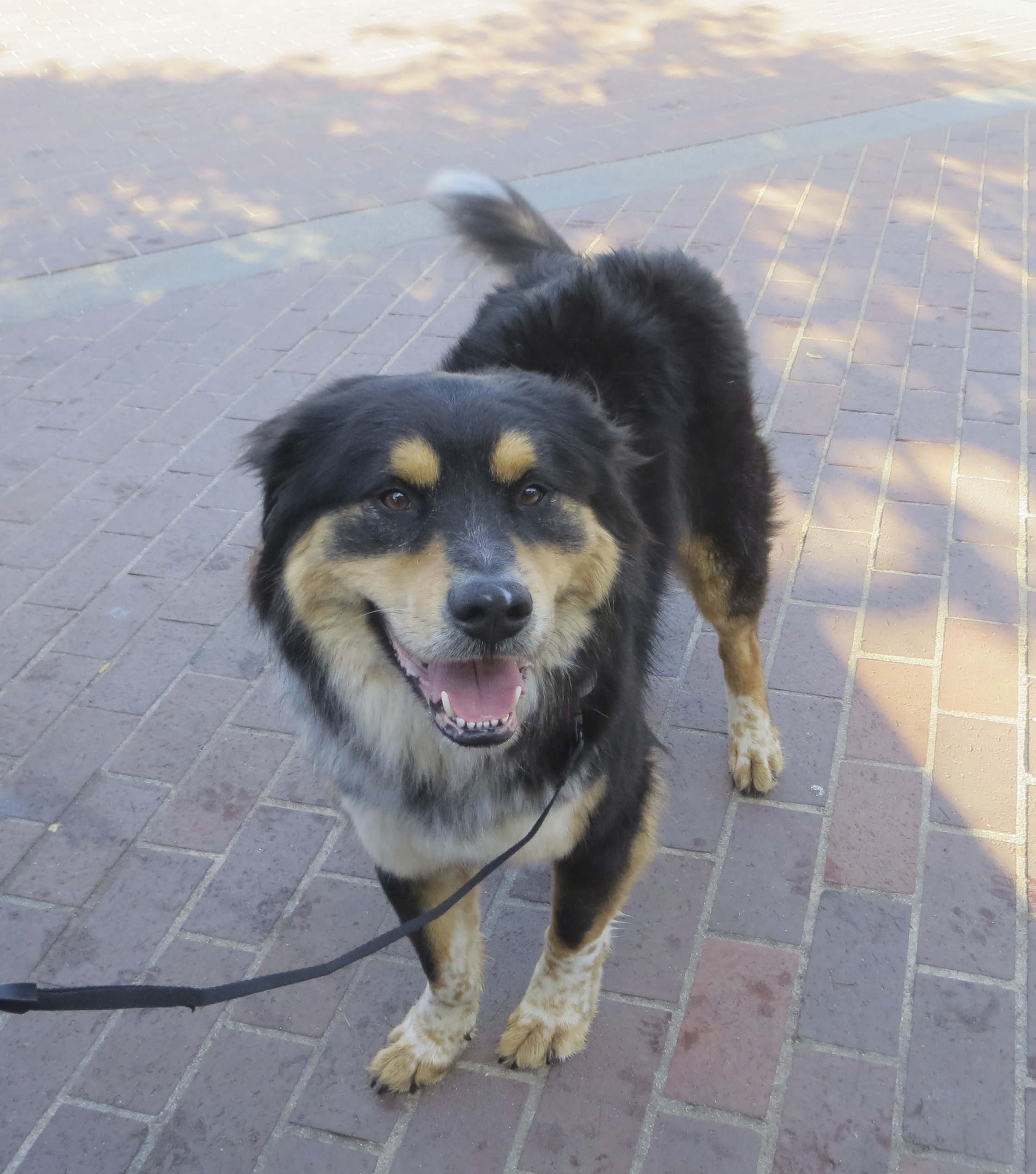 Are ya ready? Huh? Huh? - The Dogs of San FranciscoThe ...Australian Shepherd Rottweiler Mix Information