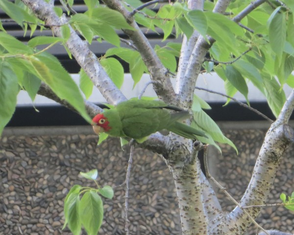 Wild Cherry-Headed Conure (Parrot) in San Francisco