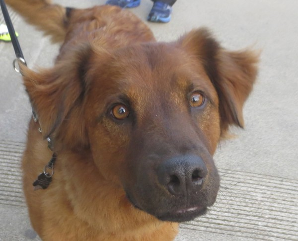 Red Golden Retriever/Chow Mix with Some Black in Face