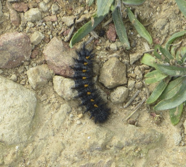 Unknown Caterpillar