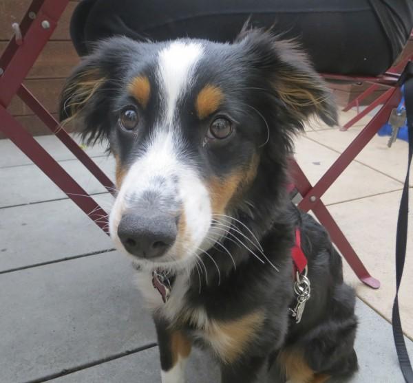 Tricolor Miniature Australian Shepherd Puppy