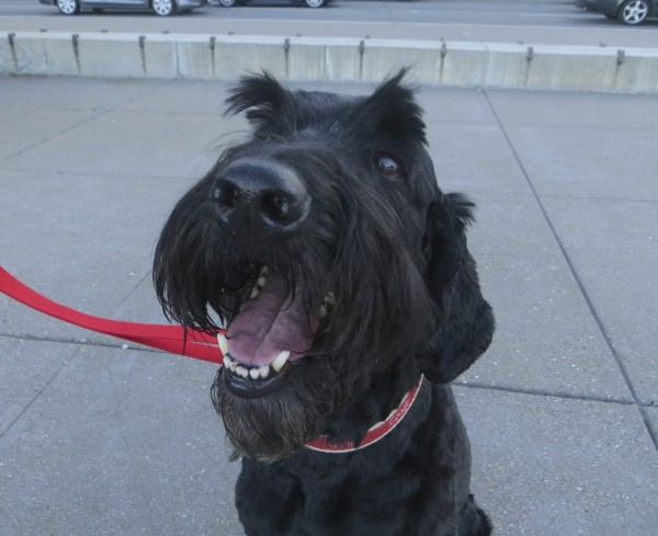 Maybe Some Kind Of Giant Schnauzer Mix?