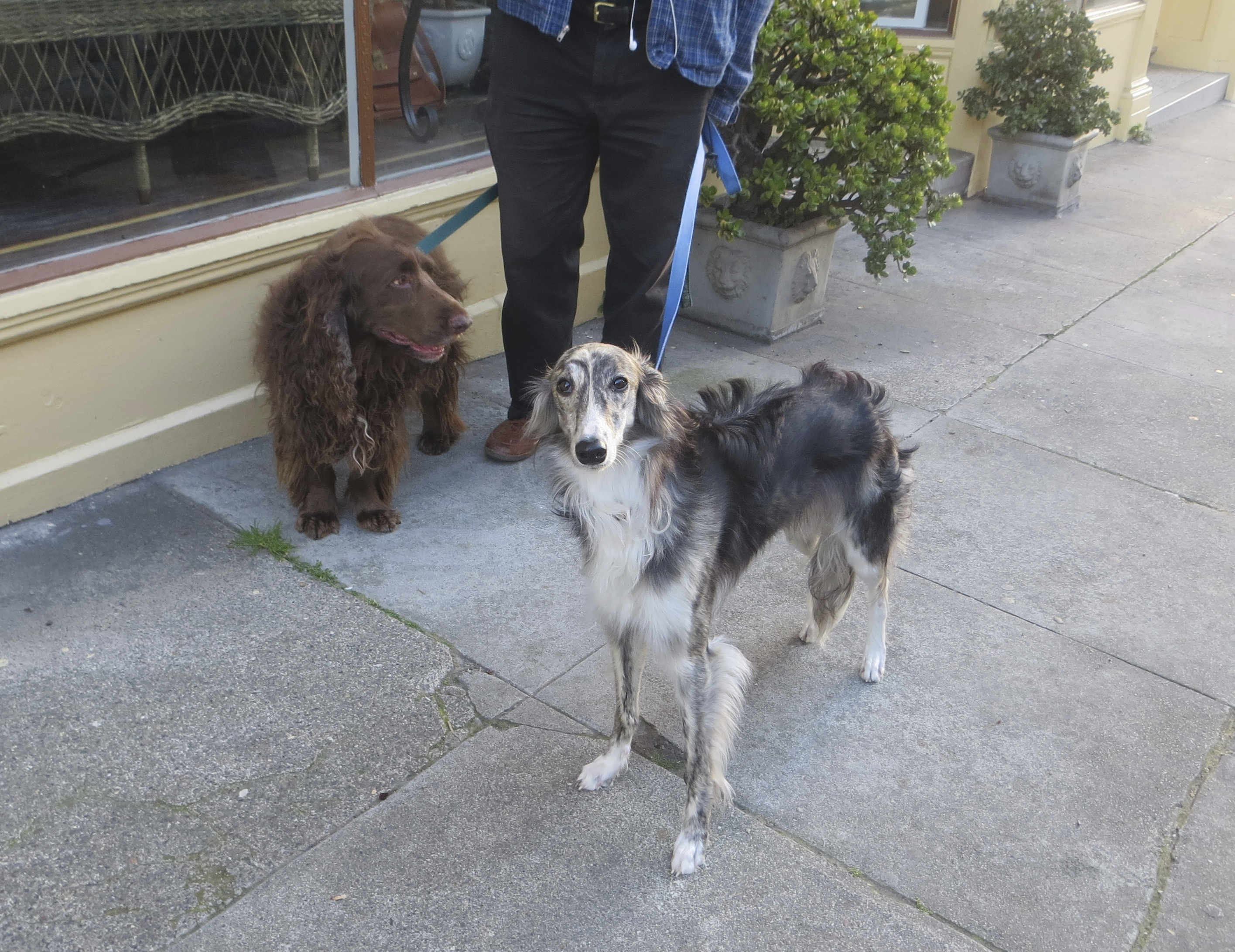 Long Low Brown Field Spaniel and Black Grey and White Silken Windhound