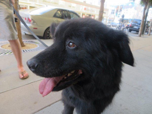 Dog of the Day: Hobbes the Newfoundland Dog/Labrador Retriever Mix