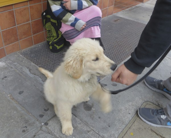 4-Month-Old Golden Retriever Puppy