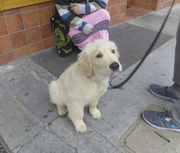 4-Month-Old Golden Retriever Puppy Sticking Out His Tongue At Me