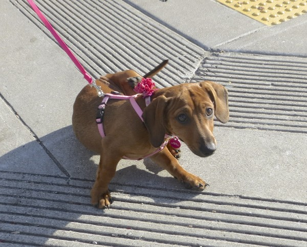 Four-Month-Old Red Miniature Dachshund