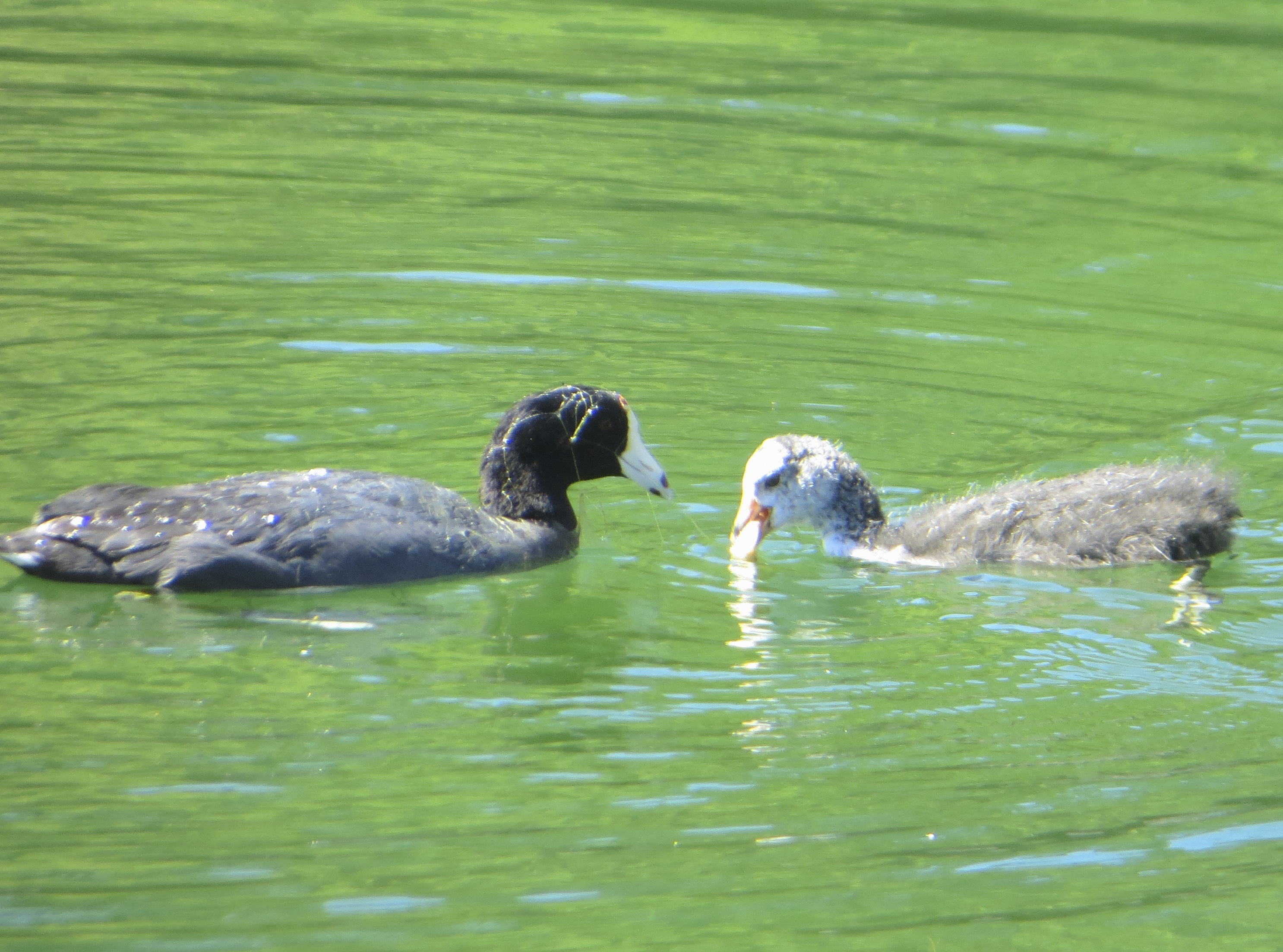 Adult And Baby American Coots