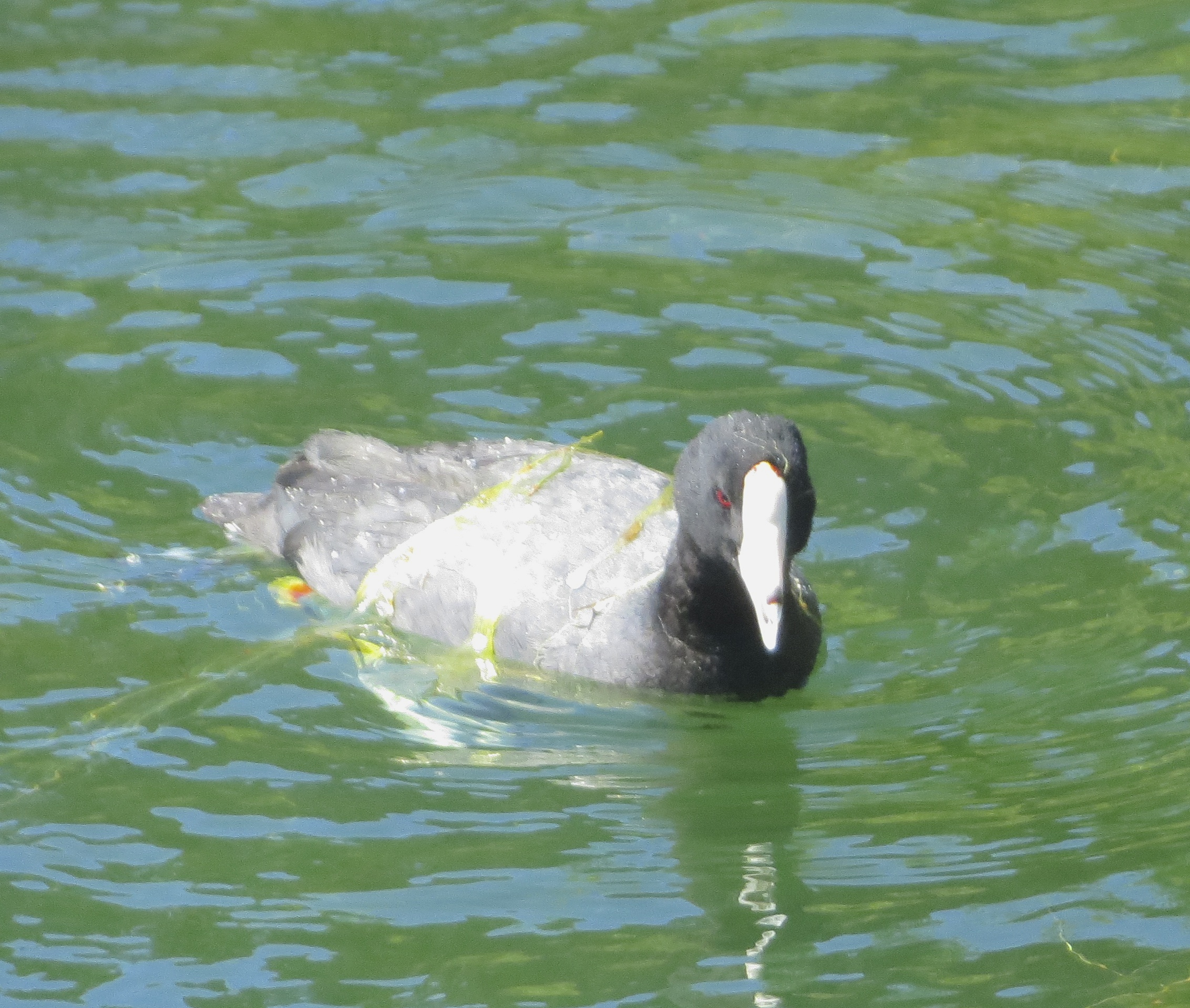 Adult American Coot