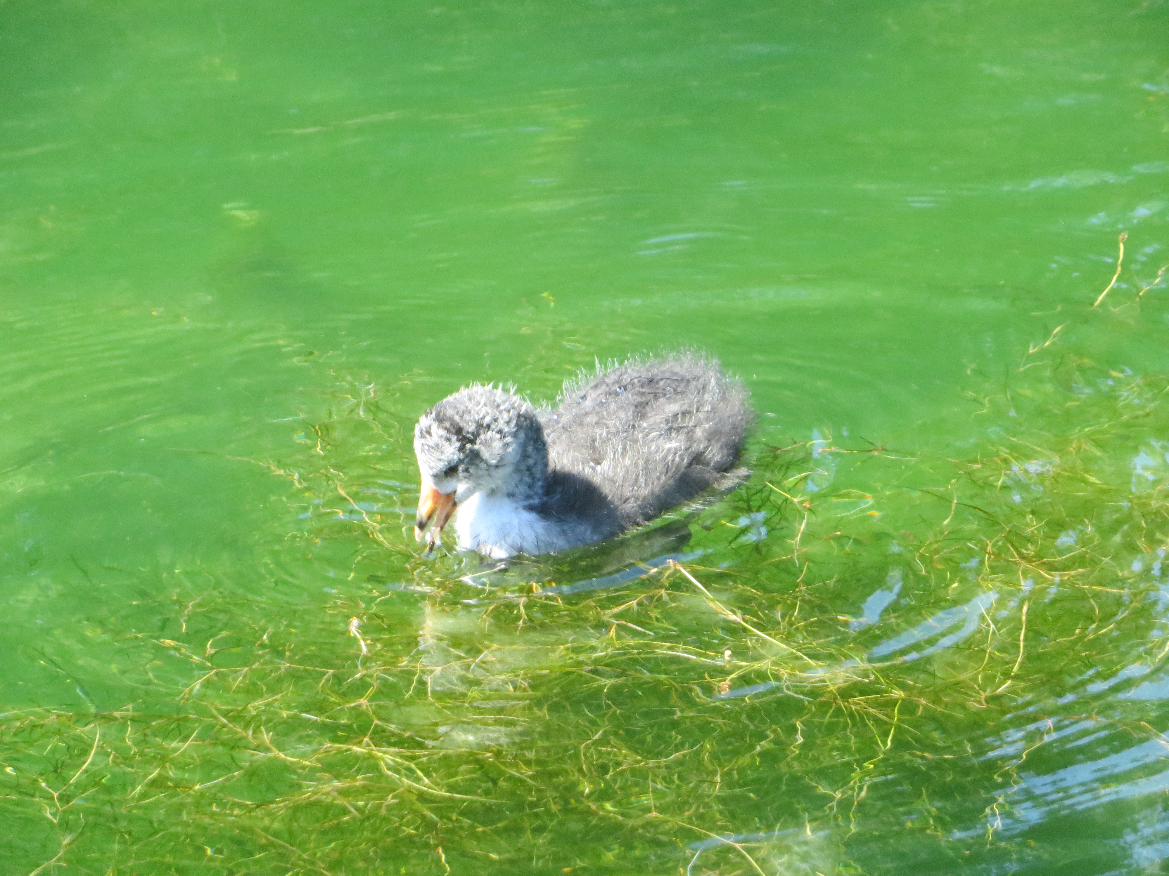 Baby American Coot